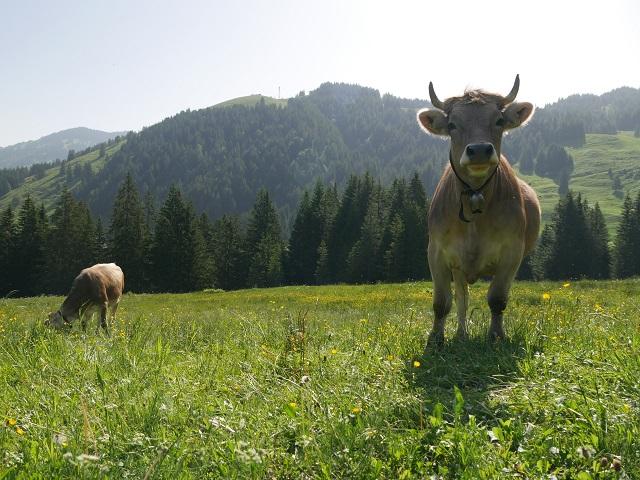 Jungrind auf einer Bergwiese bei Balderschwang im Allgäu