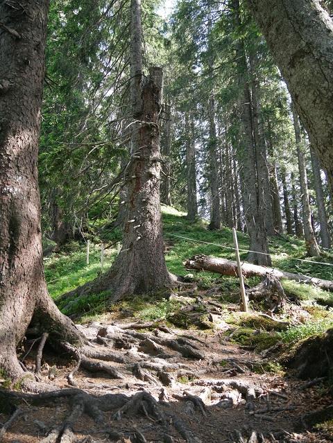 durch den Wald zum Hochschelpen bei Balderschwang