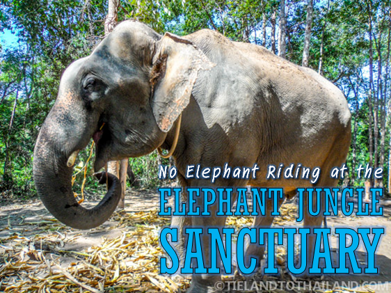 No Elephants Riding at the Elephant Jungle Sanctuary