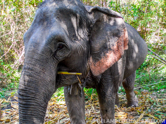 Pregnant Elephant at the Elephant Jungle Sanctuary