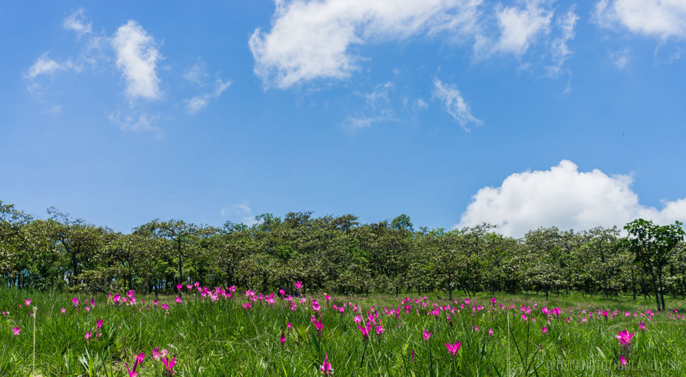 Siam Tulip Festival - Field 1 at Sai Thong National Park