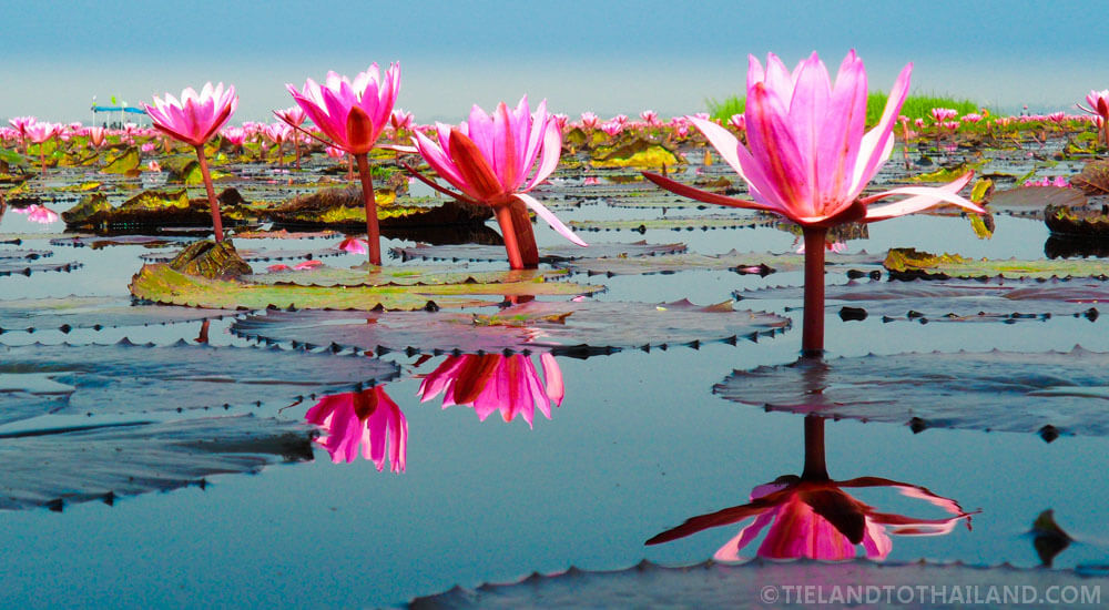 Red Lotus Sea in Isaan, Thailand