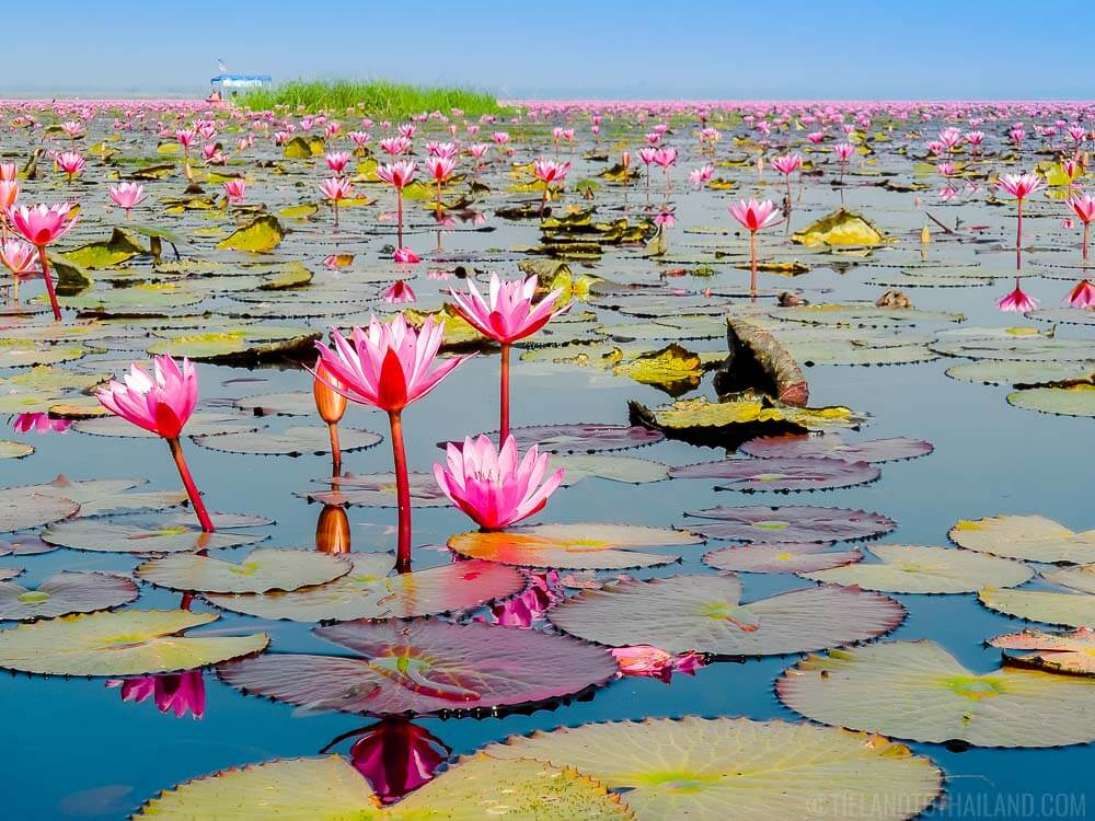 Things to do in Udon Thani: Vist the Red Lotus Sea