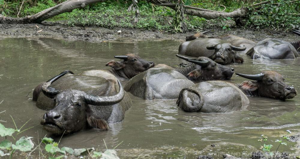 Water buffaloes relaxing during a Chiang Mai hill tribe tour