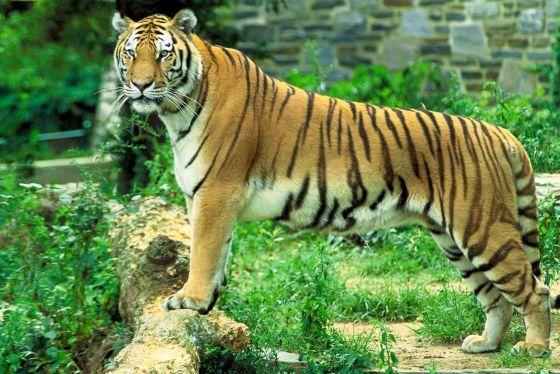 El tigre, otra especie en peligro