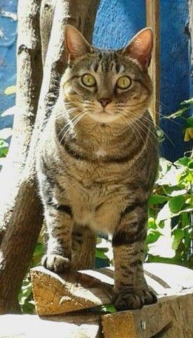 enfermedades dentales más comunes en los gatos