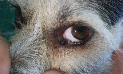 papiloma canino o verruga