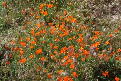 poppy-reserve-poppies-smaller