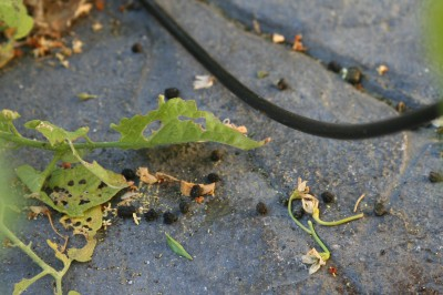 Caterpillar poop!