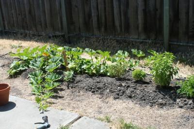zucchini 6-22