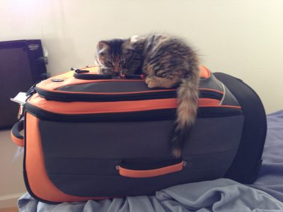 Tigress, guarding the luggage