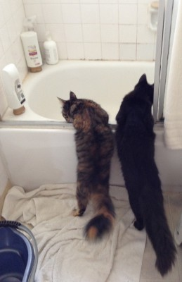 Fritz and Tigress exploring the bathtub