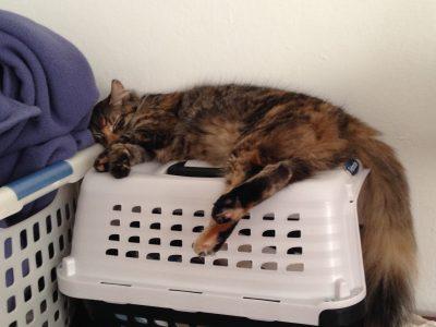 Tigress sleeping