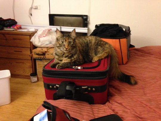 Tigress laying claim to the luggage