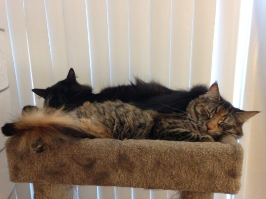 Fritz and Tigress napping in the cat tree