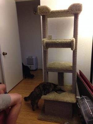 Tigress examining the base of the cat tree