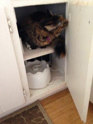 Tigress exploring a cabinet
