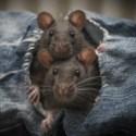 Stabilisierte Kuschelröhre für Ratten