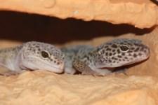 Christina H. - Leopardgecko