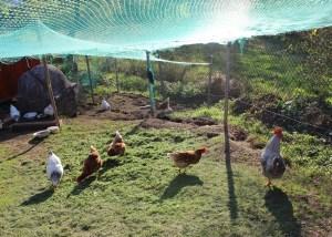 Nelli K - private Nutztierhaltung Hühner