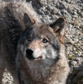 Alex S Wolf