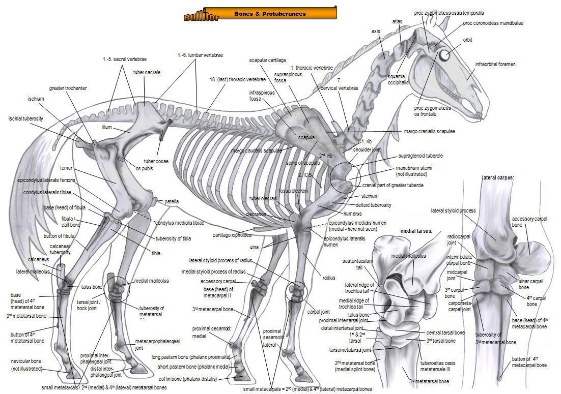 horse muscle and bone diagram powerwall 2 wiring equine anatomy bones muscles