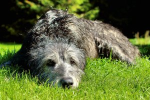 Rassen wir der Irische Wolfshund brauchen ein Hundebett XXL