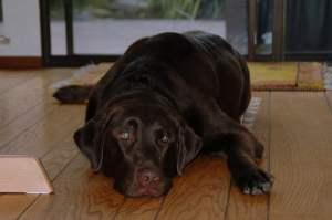 Schokoladenvergiftung bei Hunden kann tödlich sein