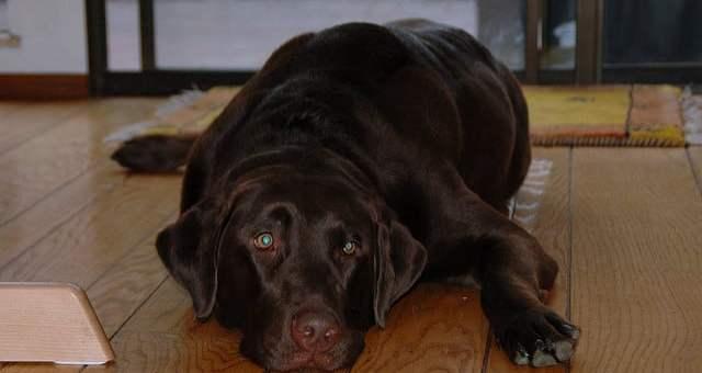 Schokoladenvergiftung bei Hunden