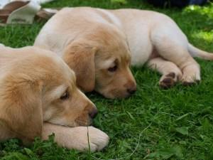 Labrador Welpen in verschiedenen Stadien der Hundeentwicklung