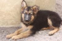 Hunde - Rassehunde - Schferhund Tieranzeigen Seite 9