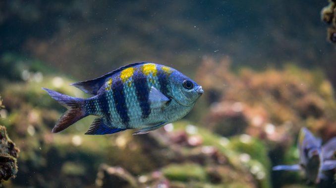 sueßwasserfisch-in-aquarium