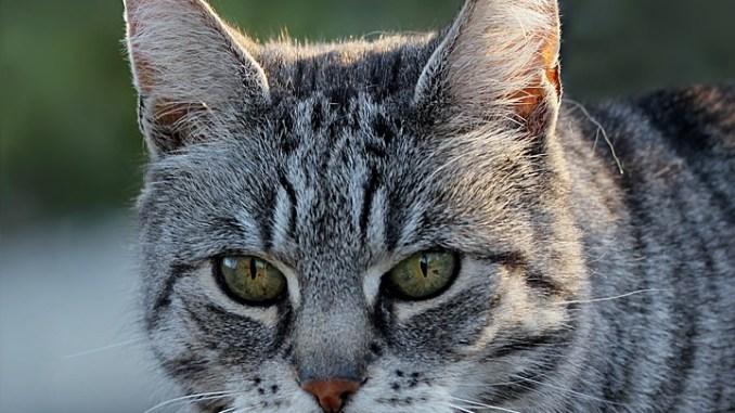 California-Spangled-Katze