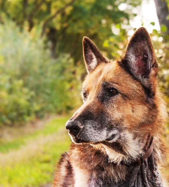 deutscher schäferhund bilder  vorlagen zum ausmalen