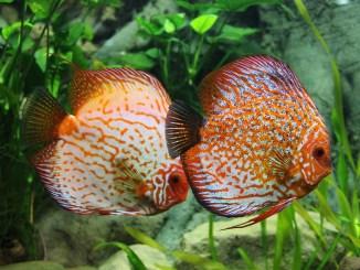 Sueßwasserfische