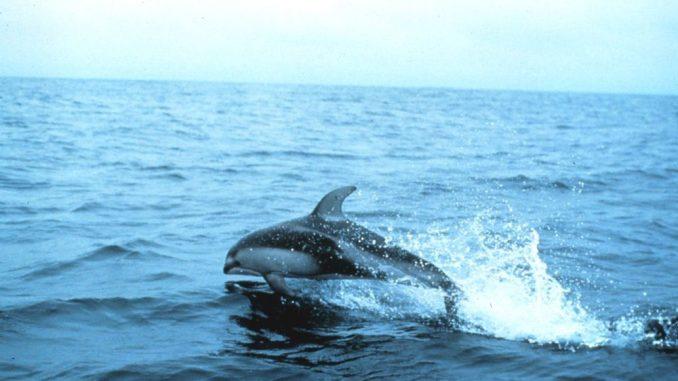 Weißstreifendelfin
