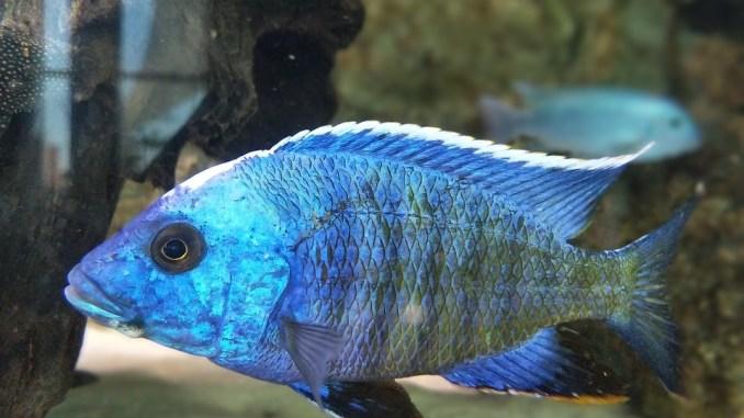 Aquariumpflege ist wichtig, damit Fische gesund bleiben, sowie dieser blaue Fisch.
