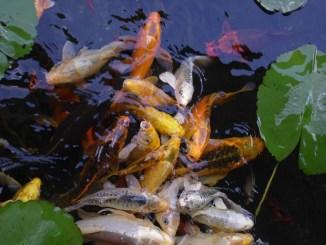 Viele verschiedene Fischarten in einem See