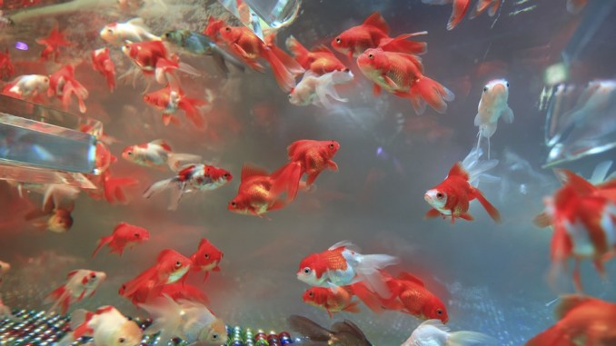 fische-haltung-aquarium