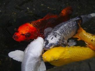 fortpflanzung-der-fische