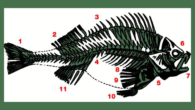 koerperbau-fisch