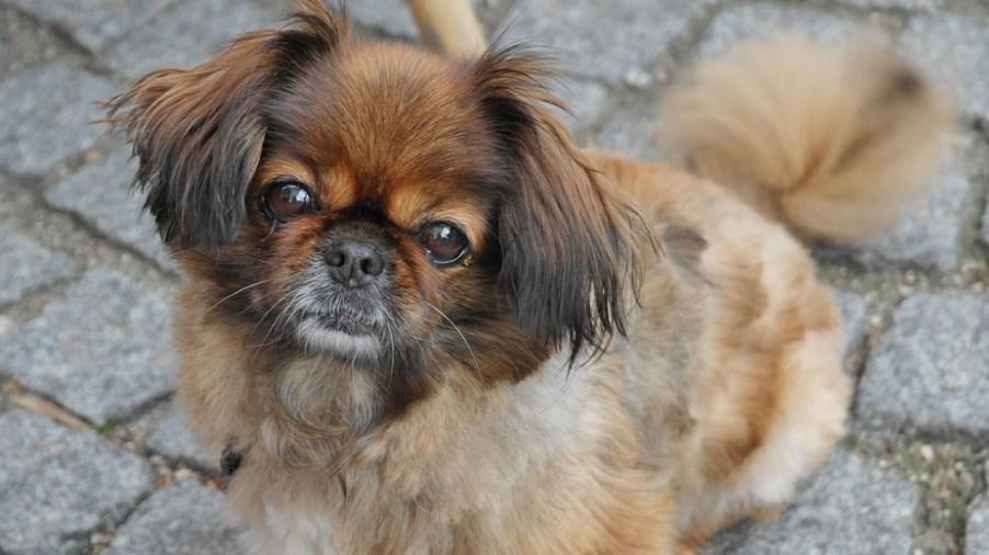 Pekinese Hund Charakter Aussehen Und Haltung