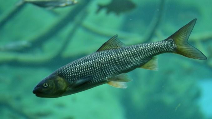 Fischart : Forelle