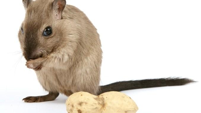 Hamsterratte-nahrung