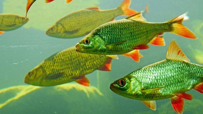 Fischart: Rotfeder
