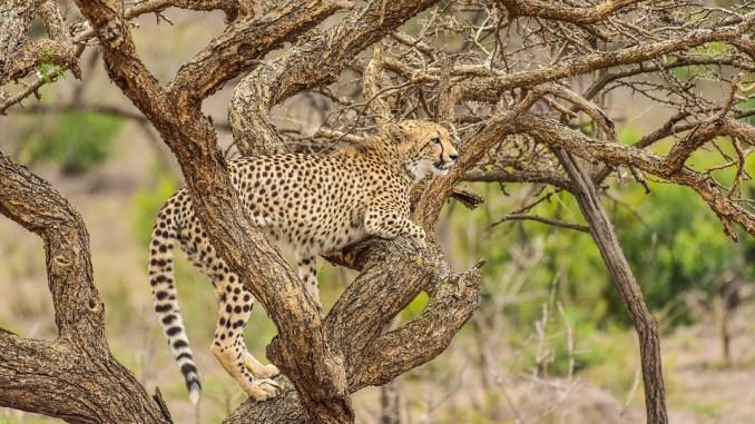 wilde-katze-safari