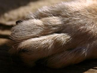 Wolfskralle-hund