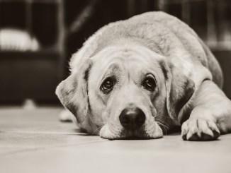 hund-kastration-traurig-sterilisation