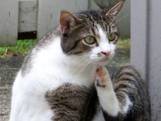 Katze am Kratzen wegen Zecken