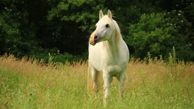 pferdeoel